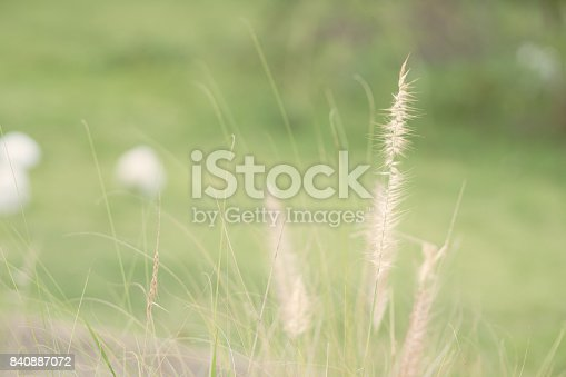 Close up flower grass and sunrise background in the morning.
