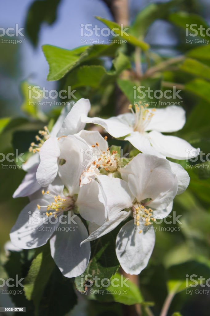 Close up flowers blooming apple tree in spring - Royalty-free Agriculture Stock Photo