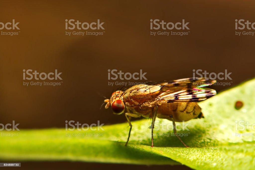 Close up fly (Drosophila melanogaster) in nature stock photo