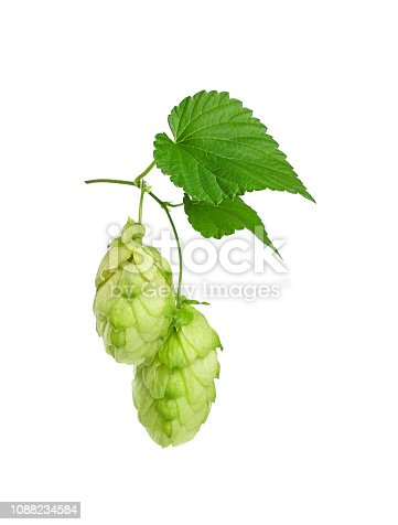 Close up one group of two fresh green hop cones on branch with leaf, ingredient for beer or herbal medicine, isolated on white background, low angle side view