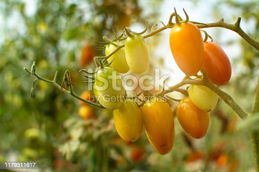 A close up  fresh organic cherry tomatoes red and yellows color on green branch with blur garden background.