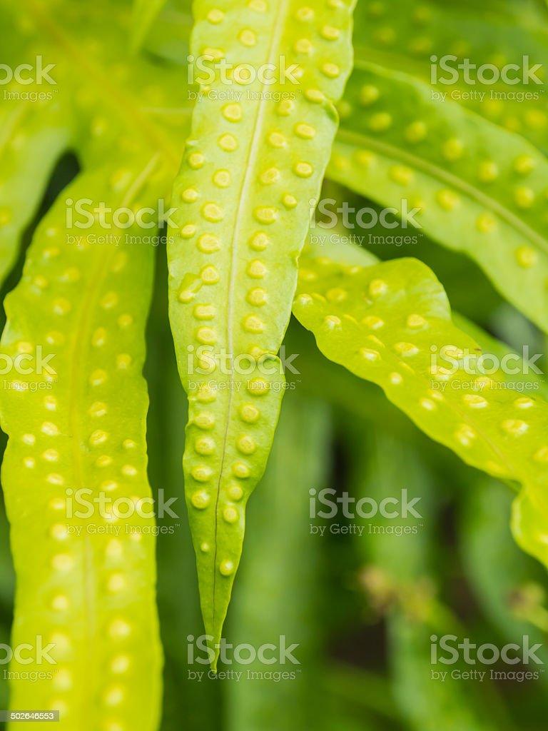 Close up fresh sporangium of Wart Fern (Microsorum scolopendria) stock photo