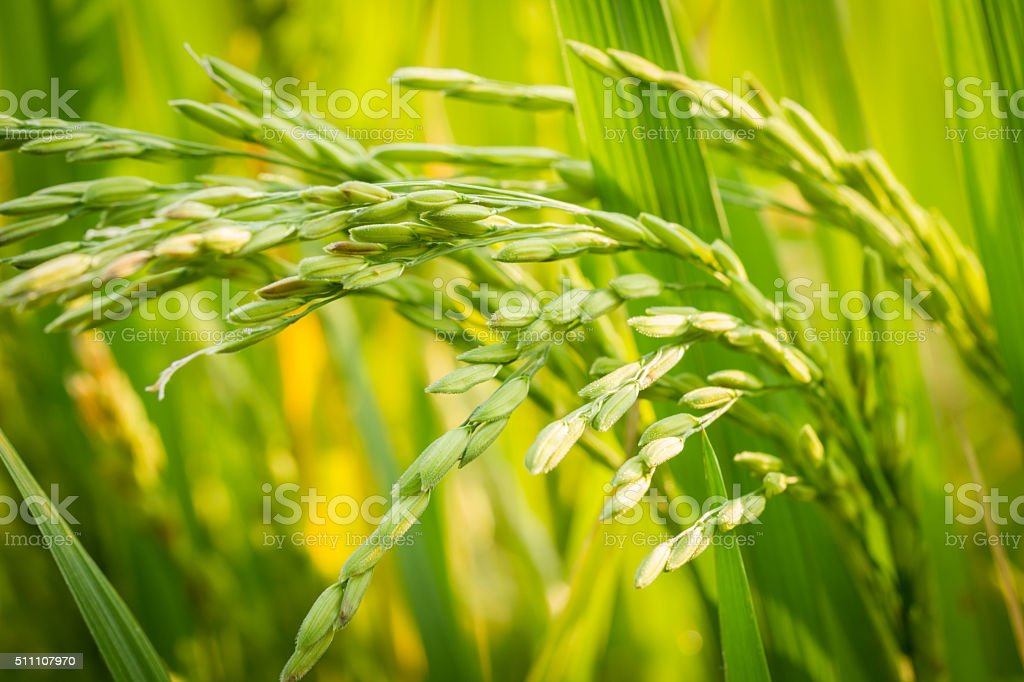 Close up fresh young rice with green leaves background. stock photo