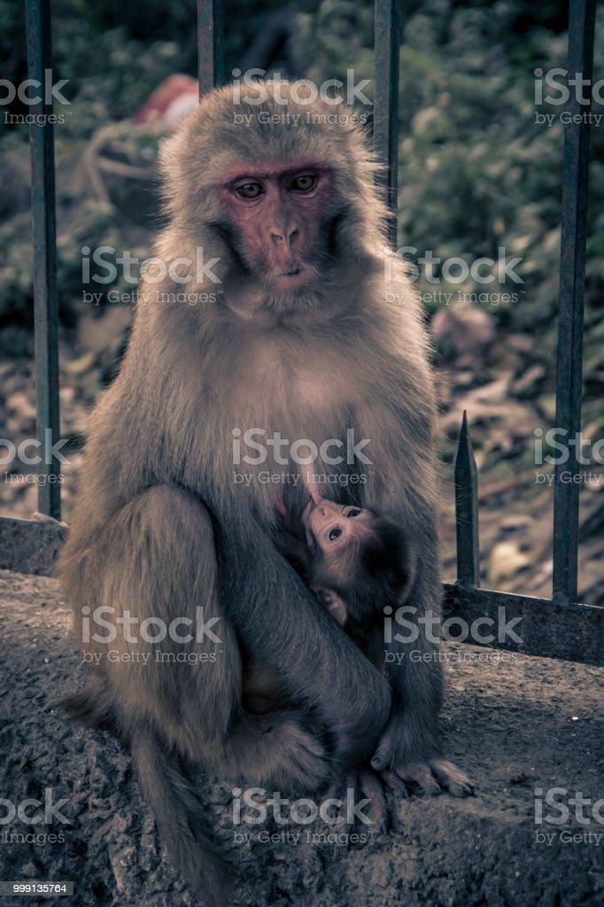 À l'avant vue rapprochée du singe avec bébé accroché sur une breas. - Photo