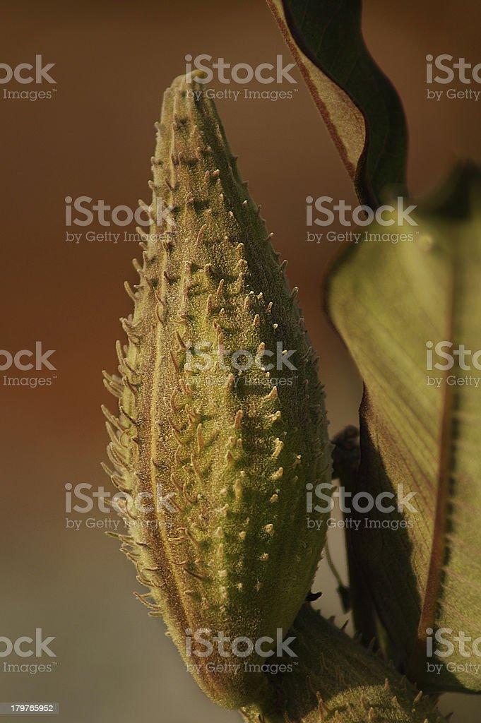 Close up Fruit bag of Common Milkweed royalty-free stock photo