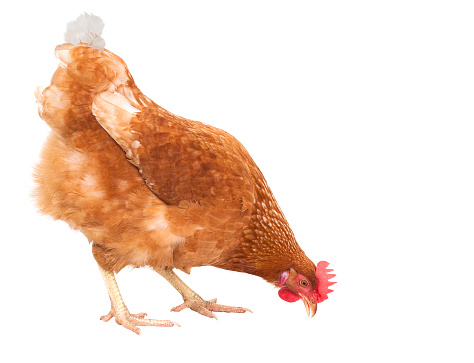close up full body of chicken hen eating food isolate white background for livestock and farm animals theme