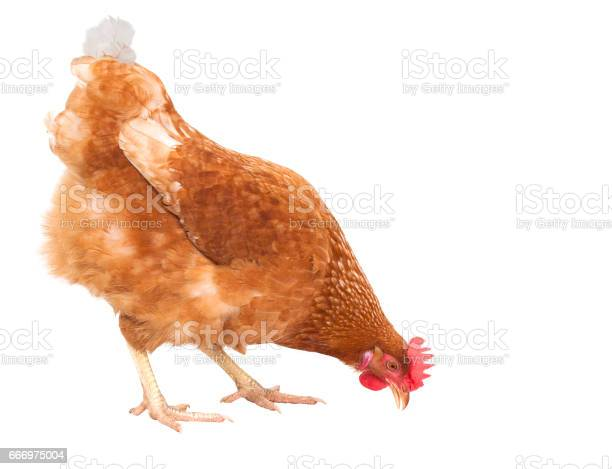 Close up full body of chicken hen eating food isolate white for and picture id666975004?b=1&k=6&m=666975004&s=612x612&h=25 t p16vl1low5bxiv9k0kon8ycq5lturl7deuo2hm=