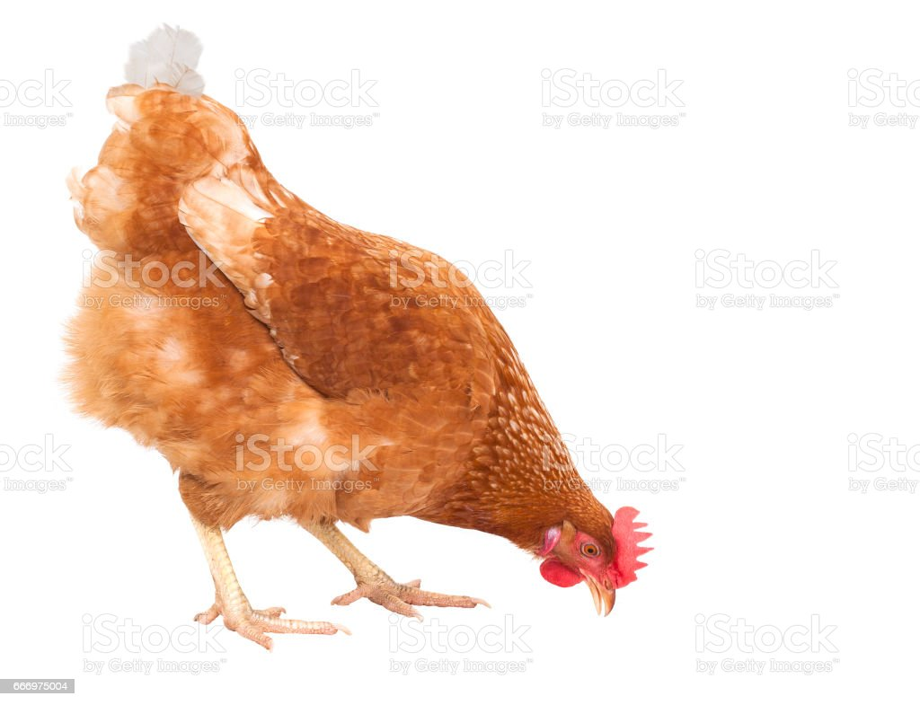 close up full body of chicken hen eating food isolate white background for livestock and farm animals theme stock photo