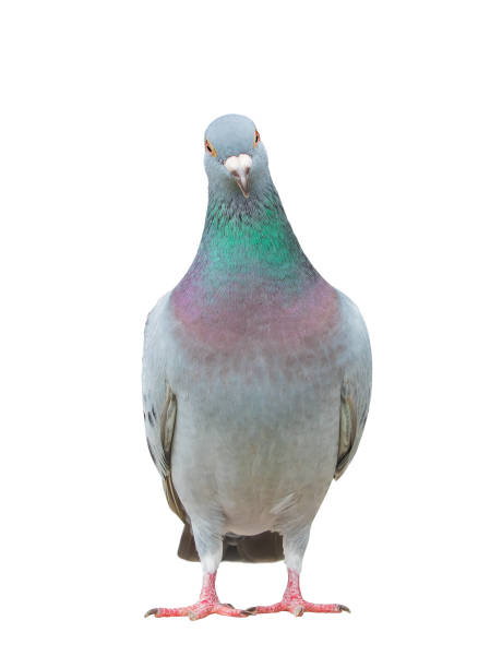 Ganzkörper von Brieftauben Bird isoliert weißen Hintergrund hautnah – Foto