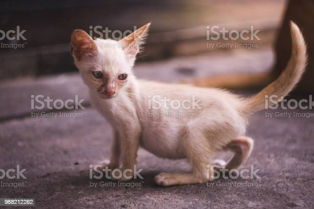 Close up full body of little dirty skinny white kitten picture id988212262?b=1&k=6&m=988212262&s=612x612&h=jetivyak9uqacx2ttwzjqz7ua2wqbshlkncynedxah0=