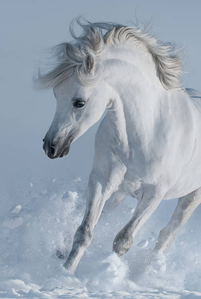 Close up galloping white stallions in snow picture id589447102?b=1&k=6&m=589447102&s=612x612&w=0&h=wism6hzdcgtvqljxfbyiphrwqqb2bw veyrn4f5nrdk=