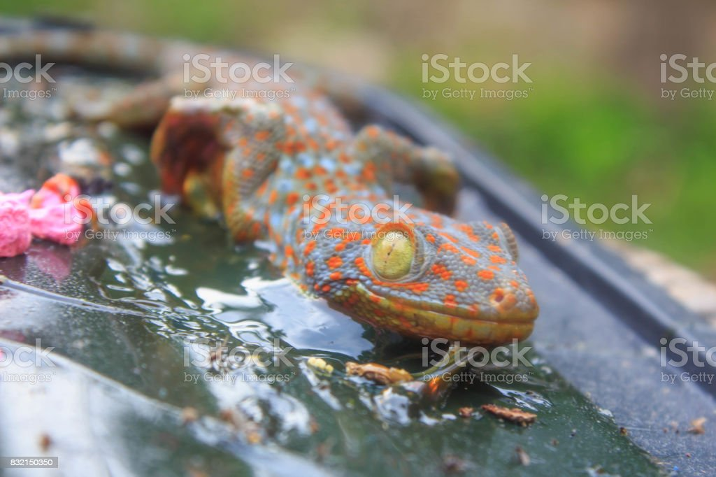 Close up Gecko trapped glue stock photo