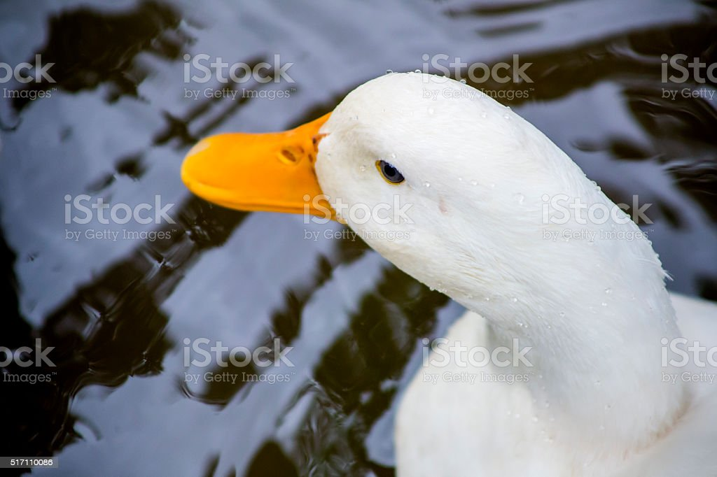 Close up Geese stock photo