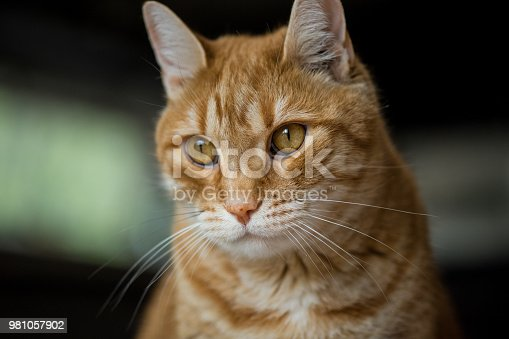 Close up portrait of a male ginger tabby cat with golden eyes