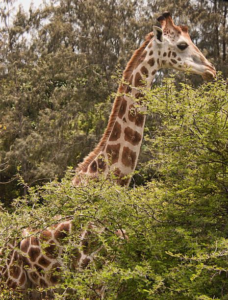 Nahaufnahme-Giraffe – Foto