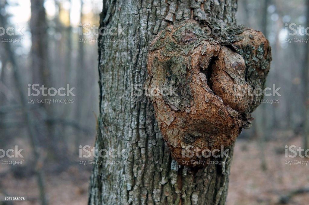 Gnarl sobre la corteza de un árbol de cerca - foto de stock