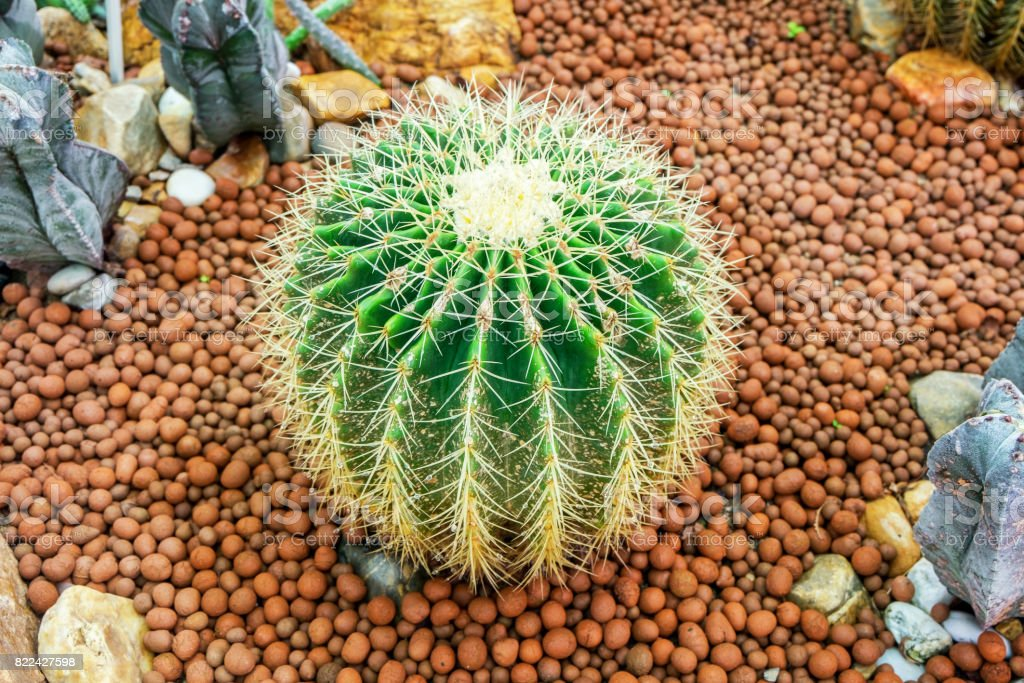 Close up Golden Barrel Cactus, Echinocactus grusonii. stock photo