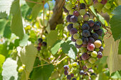 Close up shot of green and purple ripe grapes in vineyards of Greece.