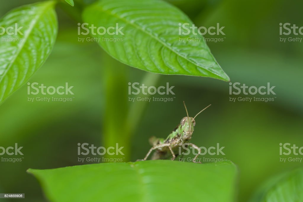 Close up Grasshopper on leaf stock photo