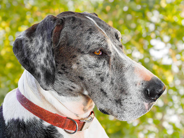 Close up great dane dog Close up great dane dog isolated on white background dane county stock pictures, royalty-free photos & images