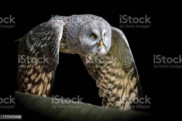 Close up great grey owl in flight picture id1177474105?b=1&k=6&m=1177474105&s=612x612&h= lp lvvi4phku6ljuuze2gyqd6sjskwemczdhkg ahm=
