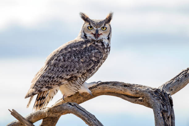 Close up Great Horned Owl stock photo