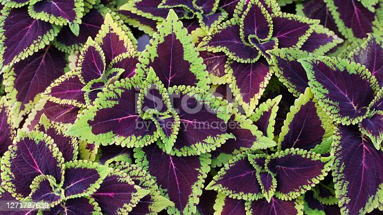 Close up green and purple coleus solenostemon hybrida leaves background in a garden
