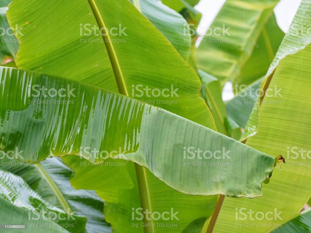 close up green banana leaves and banana trees after raining in banana...