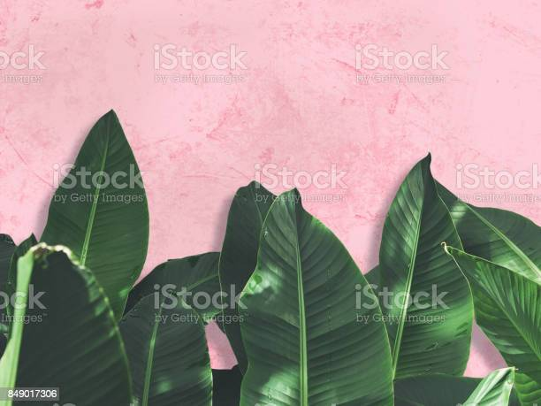 Close up green banana leaves over pink painted grunge concrete wall picture id849017306?b=1&k=6&m=849017306&s=612x612&h=d wv9tbclvijbxcu9a tvn7y4b1tdhbzmu3pnisk89i=