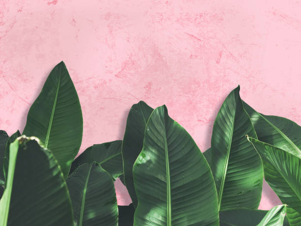 Close up green banana leaves over pink painted grunge concrete wall. stock photo
