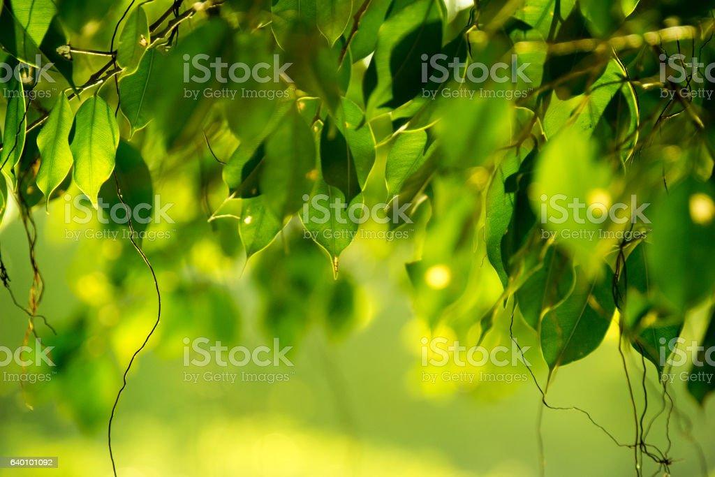 Close up green Benjamin's fig leaf nature abstract background - foto de acervo