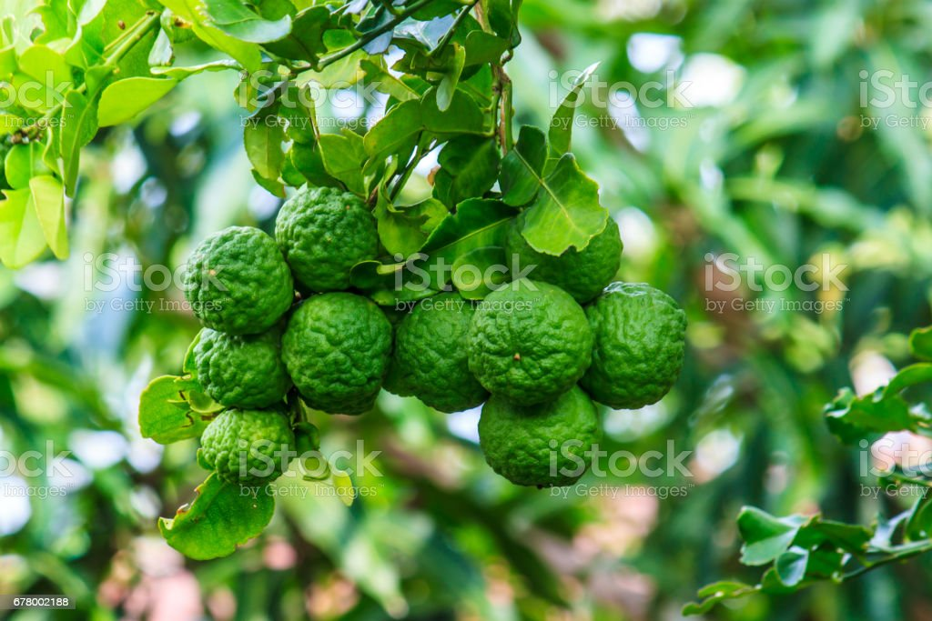 Close -up green bergamot or Kaffir lime on tree wiht burry background. stock photo