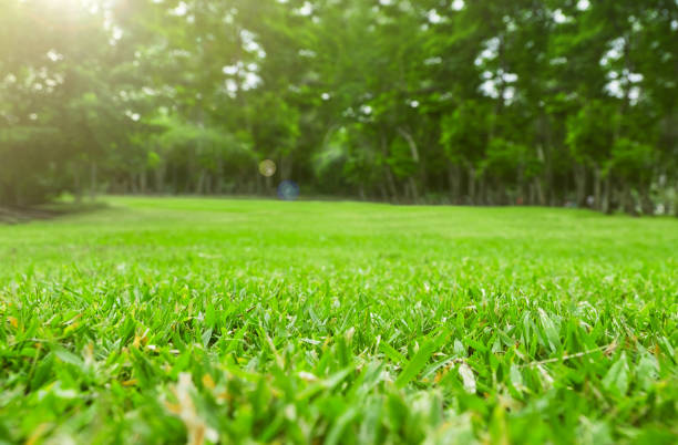 Close up green grass field with tree blur park background,Spring and summer concept stock photo