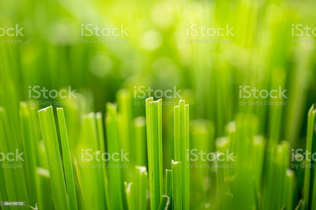 close up green grass for background, cut green rice field. stock photo