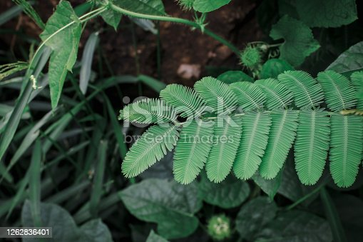 Close up green leaf a sensitive compound leaf of Mimosa pudica is a short shrub of a member of the leguminous tribe,pattern texture and nature background