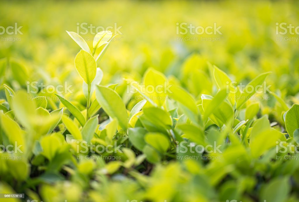 Stäng upp gröna blad i plantation - Royaltyfri Abstrakt Bildbanksbilder