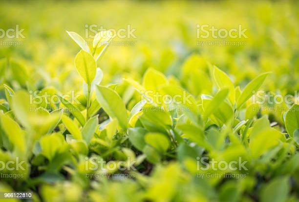 Stäng Upp Gröna Blad I Plantation-foton och fler bilder på Abstrakt