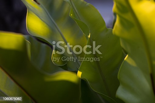 close Up Big Green Leaf at Sunrise