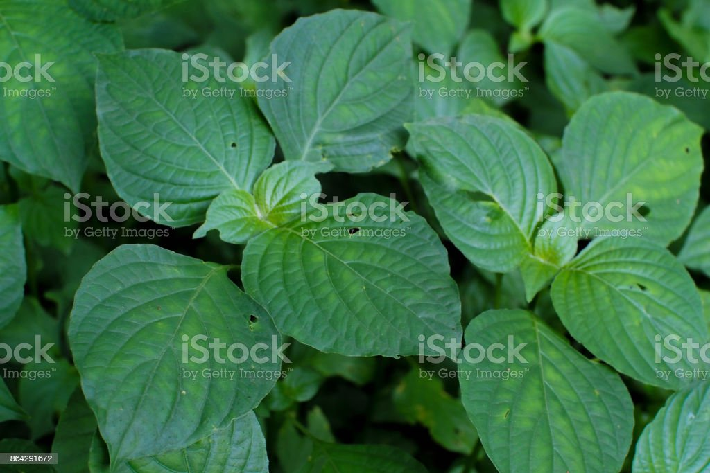 Close up green Leaf with hole royalty-free stock photo