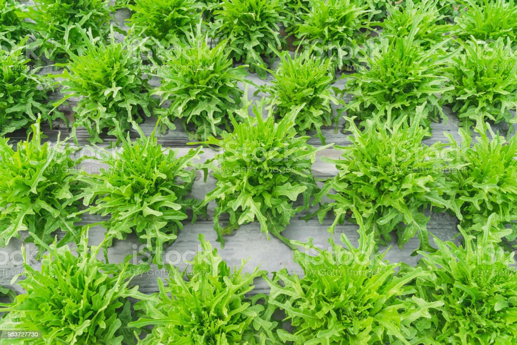 close up green lettuce plantation on field agricuture. stock photo
