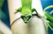 Close up green lizard eye beautiful macro