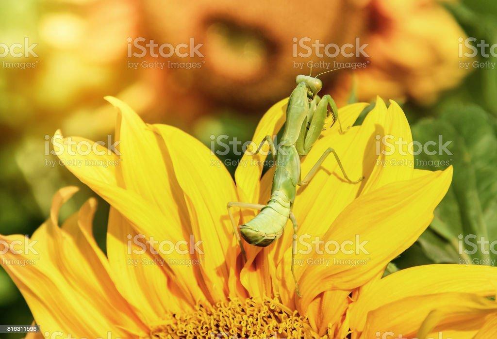 Close up green mantis preying on petal sunflower stock photo