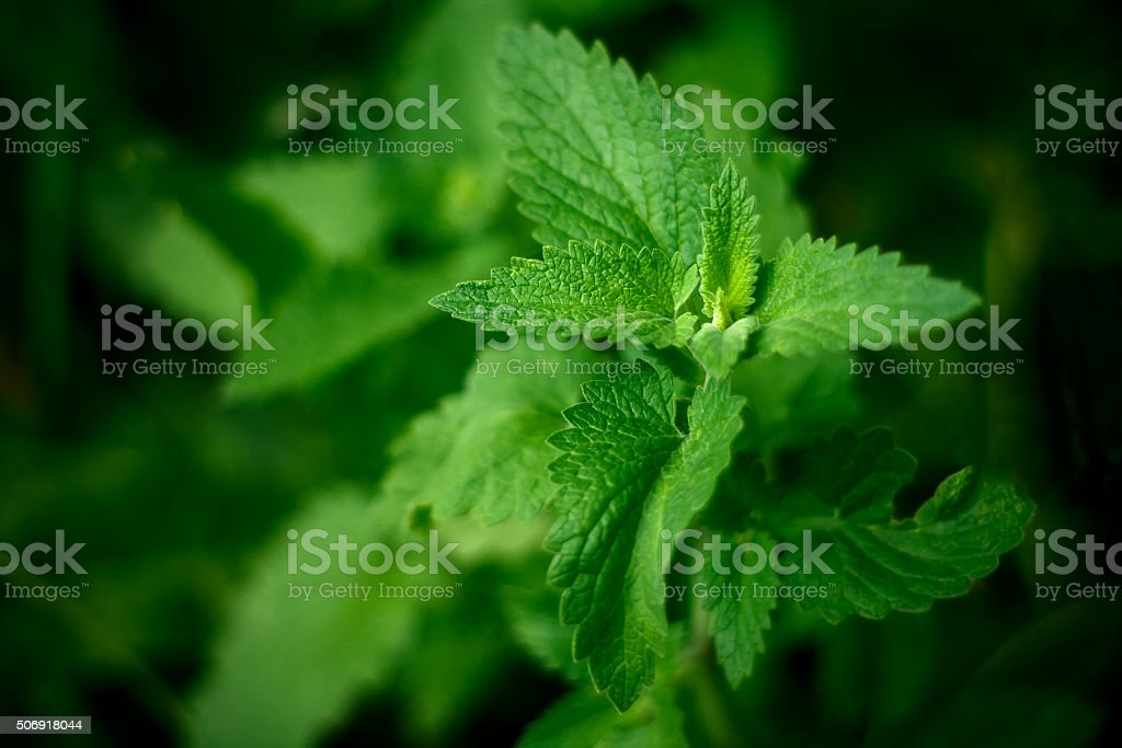 Close up green mint leaves in garden stock photo