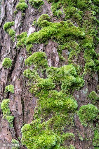 Close up green Moss on a pine tree