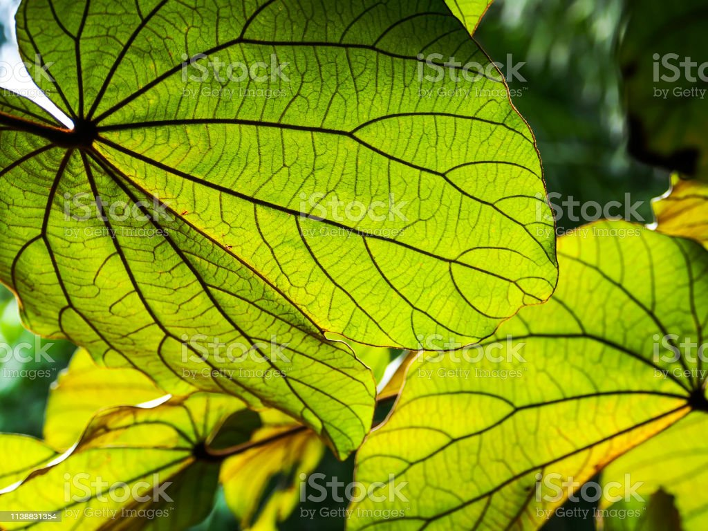 Close Up Green Tropical Leaves On The Tree Stock Photo Download Image Now Istock Leaves collage, 100 best free graphics handpicked by freepik staff. close up green tropical leaves on the tree stock photo download image now istock