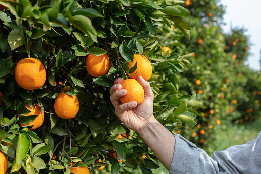 istock Close up Hand and Oranges in Orange Farm with Beautiful Sunshine 1158172712