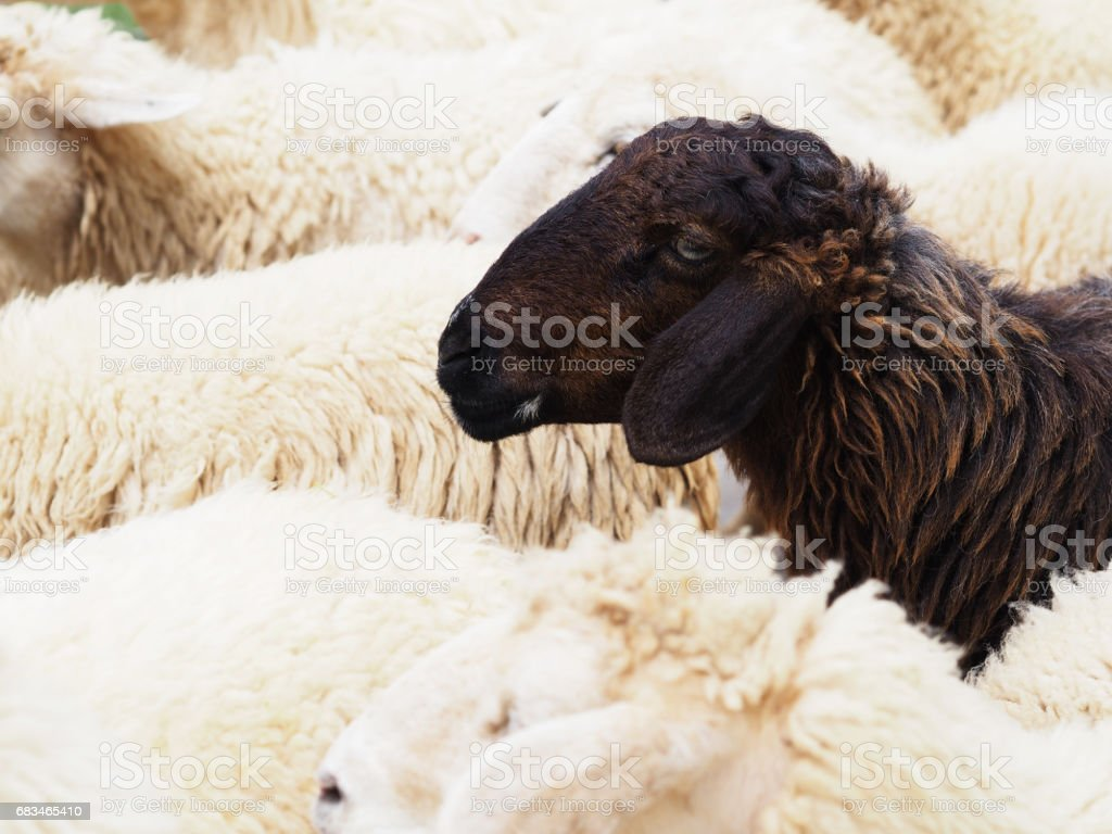 Close up head of black sheep in the flock of white sheeps stock photo