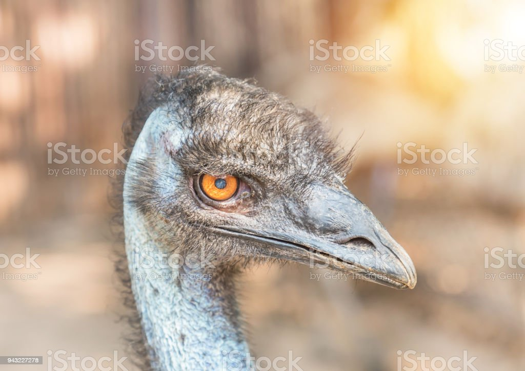 Close up head of common emu (Dromaius novaehollandiae Aptenodytes forsteri) flightless bird stock photo