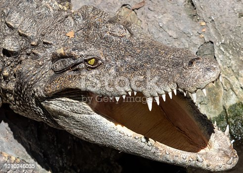 istock Close up Head of Crocodile was Sunbathing on The Rock 1210246035