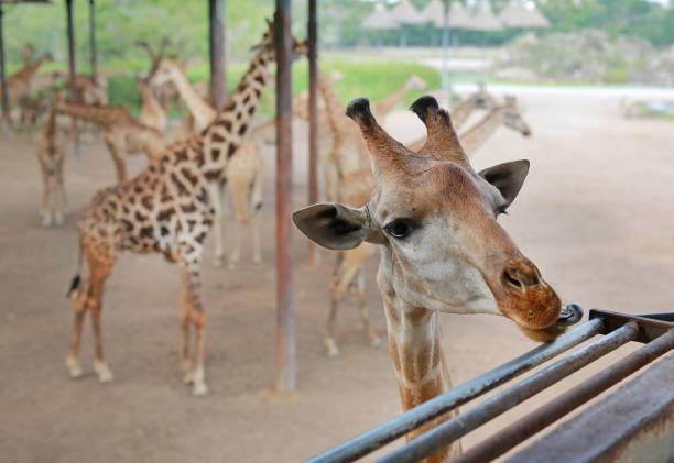 gros plan tête de girafe au zoo de thaïlande. - cage animal nuit photos et images de collection